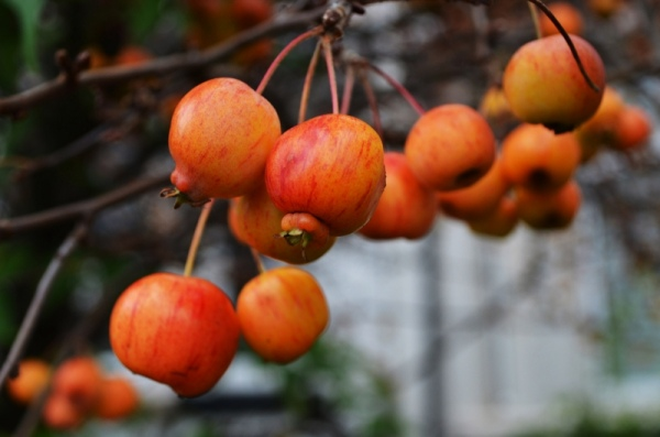 red_autumn_apples_200659
